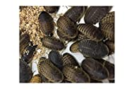 Livefood UK 25 Live Feeder Roach Blaptica Dubia Medium size 14-25mm (Tub of 25 Cockroach)