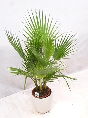 [Palmenlager] Washingtonia filifera 120/140 cm/Gruppe mit 4 Stämmen - Priester Palme