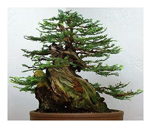 Sequoia sempervirens - Séquoia - 20 graines