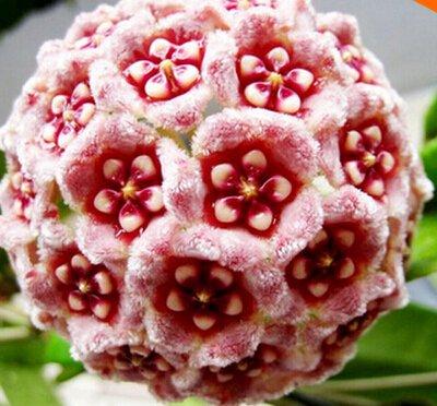 100pcs / sac Vente Hot arc Hoya Rare Graines Outdoor Blooming Bonsai fleurs des plantes en pot Livraison gratuite pour Maison et jardin 8