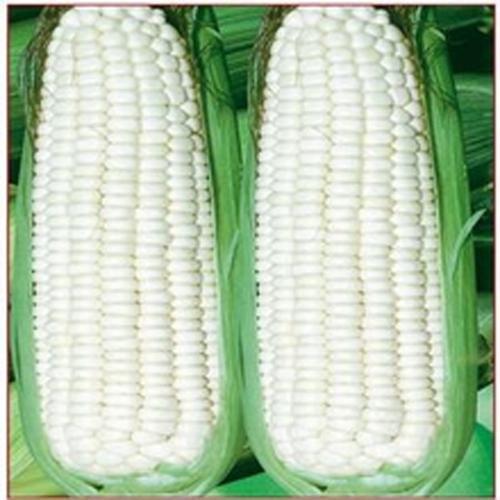 20 doux arc-en-maïs Semences de maïs grains colorés Céréales Graines de haute qualité des légumes pour jardin facile à cultiver Livraison gratuite Effacer