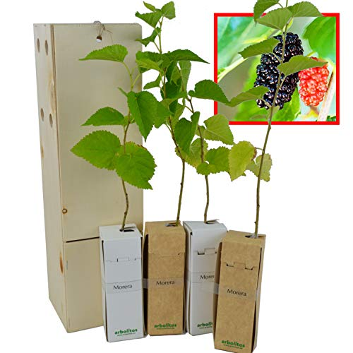 MORERA. Arbolito de pequeño tamaño en caja de madera. Alveolo forestal (4)