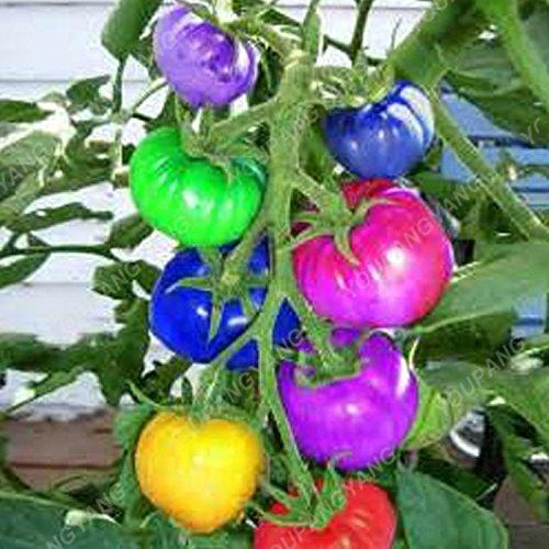 200pcs Heirloom géant monstre Graines de tomate véritables graines fraîches Légumes très rares semences pour jardin Plantation Livraison gratuite multi-couleurs