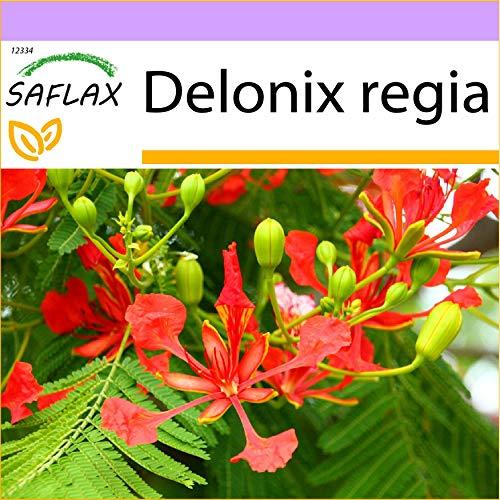 SAFLAX - Flamboyant - 6 graines - Delonix regia