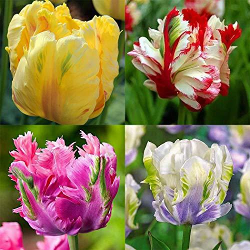 Begorey Garten-100 stück Tulpenzwiebeln Samen Bunte Blumensamen Blumenzwiebel Bonsai Tulpen Winterhart Mehrjährig