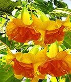 Kisshes Giardino - 100 Pezzi Datura Seeds Angel Trumpet Brugmansia sanguinea Semi Bonsai Semi di fiori per giardino Balcone/Patio