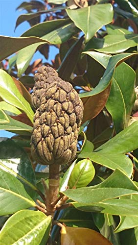 Immergrüne Magnolie Magnolia grandiflora 10 Samen