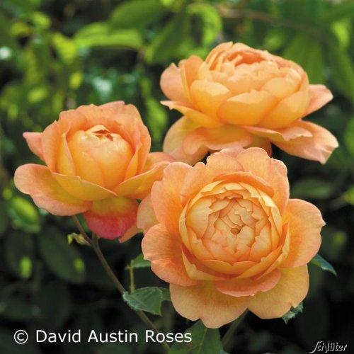 Edelrose David Austin Rose - Lady of Shalott Nostalgie winterharte Containerrose 6 Liter - Qualitätspflanze im Container von Garten Schlüter