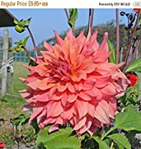 Big Sale Dinner Plate Dahlia,ace Summer Sunset,Dinner Plate Dahlia Tubers, Great Cut Flowers,Blooms,Summer to Fall (1 Bulb/Tuber)