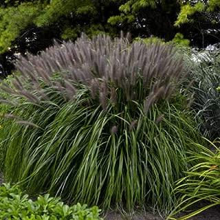 Best redhead ornamental grass Reviews