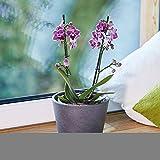 Seramis Spezial-Substrat für Orchideen 7 Liter - 6