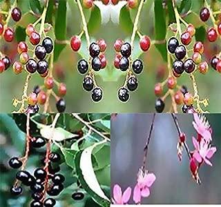 Big Pack - (500) Black Cherry Prunus serotina Tree Seeds - Berries Used in Wine Making - by MySeeds.Co (Big Pack - Black Cherry)