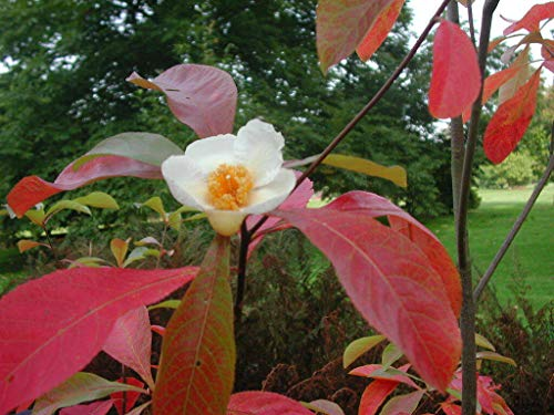 Franklinie Franklinia alatamaha Pflanze 25-30cm Franklinbaum Franklin-Tree
