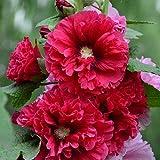 Rose of Sharon Semillas coloridas mezcladas 30+ Althaea rosea Arbusto atractivo fácil de cultivar para plantar en el jardín