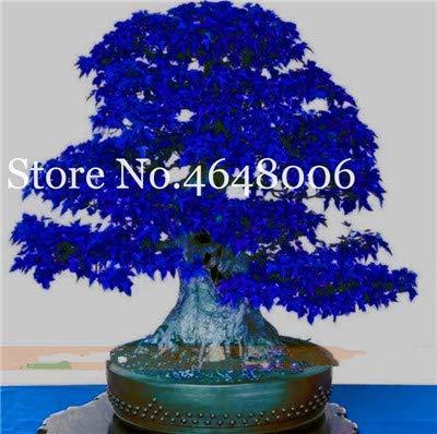 Bloom Green Co. Venta al por mayor !30 piezas de árbol de arce Bonsai, arce azul, arco iris japonés Arce Bonsa, plantas para el jardín del hogar, balcón, fácil de cultivar: b