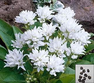 Portal Cool Dwarf Clustered Bellflower - 2000 Seeds - Campanula Glome. Perennial Flowe#854#2