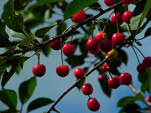 Montmorency Cherry Tree - (2 Year Old...