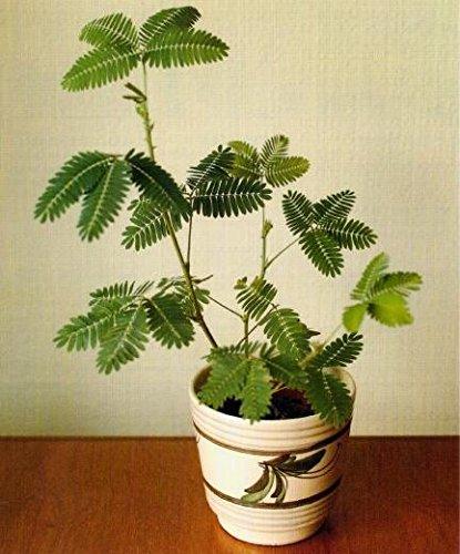 Les ventes chaudes! 100pcs Graines Mimosa Pudica Linn, feuillage Mimosa Pudica Sensible Bonsai plante jardin Livraison gratuite 5