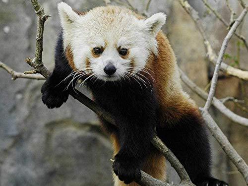 WANGZUO New1000 Piece Jigsaw Board Pandas Bear Animals 50x70cm