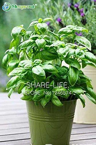 200 Grosses graines Feuille de basilic Ocimum basilicum, épices Aromatique herbes Graines Plantes Bonsai Jardin Fleur,
