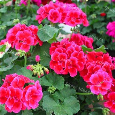 200pcs / Sac rares Géraniums Graines mixtes Couleur Bonsai Graines de fleurs Appleblossom Rosebud Pelargonium vivace Graines de fleurs 6