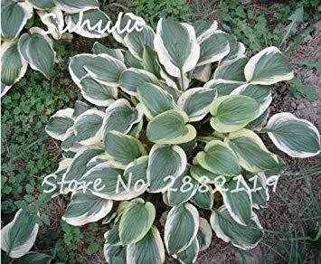 20 stücke Hosta Samen Duftenden Kochbananen Schöne Mehrjährige Blume Feuer Und Eis Schatten Weiße Spitze Bonsai Hausgarten Bodendecker 2