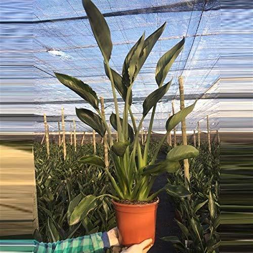 Strelitzia reginae 70-80 cm Paradiesvogelblume