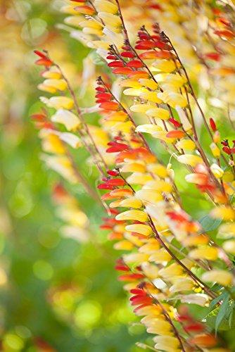 Sternwinde 10 Samen,Spanische Flagge, Ipomoea Mina Lobata