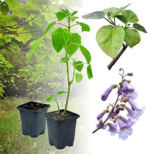 10 x Paulownia Blauglockenbaum SHANDONG, sehr schnellwüchsig; auch Kaiserbaum, Empress tree, Kiribaum für Wertholz/Energieholz, keine Samen! (9 cm-Topf)