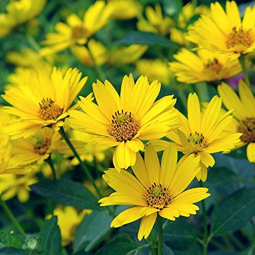 Eantpure Semillas de macetas de Flores,Semilla de Siurry Resistente al frío Cuatro Estaciones-Luz Solar_100g,perenne Resistente Semillas