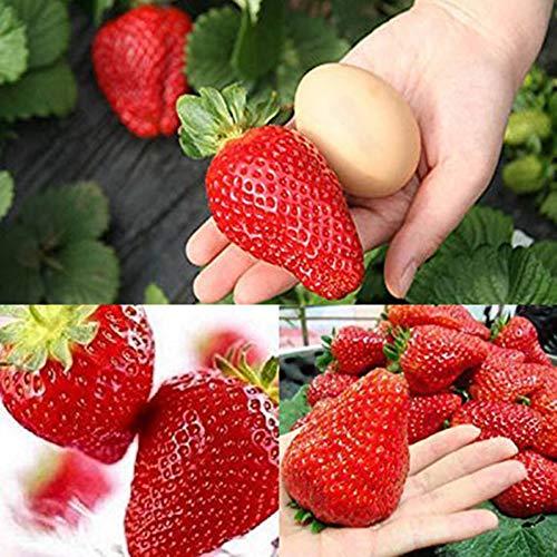 good01 300 Stücke Enorme Erdbeersamen Garten Obst Samen | Bauernhof-Yard-Balkon-köstliche Eingemachte Bonsai-Anlagen Riesige Erdbeersamen