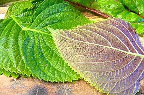 SwansGreen 1000 semillas de Corea de perilla, Shiso (Perilla frutescens) Coreano de hierbas especiales