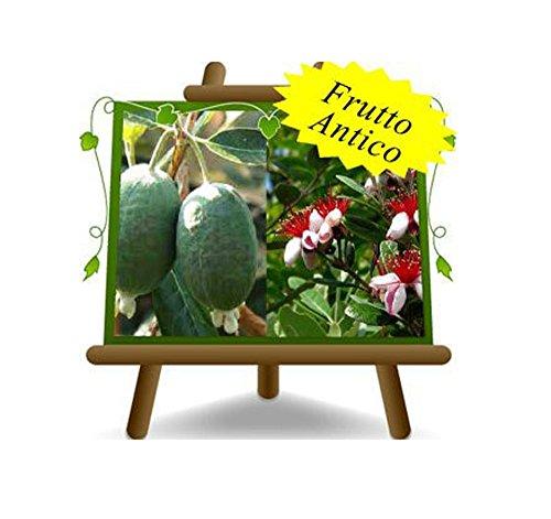 Feijoa Triumph - pianta da frutto antico - Albero su vaso da 20 - max 60 cm - 2 anni
