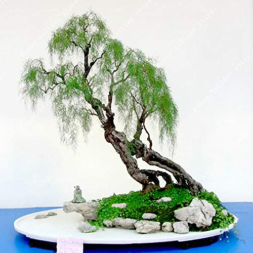 TENGGO Egrow 20 Teile/Paket Weidensamen Weidenbaum Pflanze Bonsai Hardy Exotische Arten Schnell Wachsende Gartenpflanzen Mehrjährige Immergrüne Pflanzen