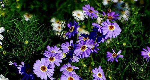 Charm4you Semillas de Flores perennes,Predic Semillas de Flores de jardín de crisantemo-100 cápsulas_Purple,Balcón Primavera Flores