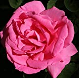 Rosa Climbing Rose 'ZEPHERINE DROUHIN' Plant