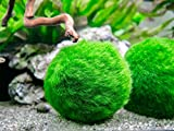 Aquatic Arts 3 Betta Fish Balls - Live Marimo...