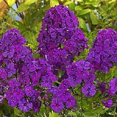 50 Bright Purple Phlox Seeds Butterfly Flower Perennial Flowers Seed