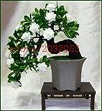 100pcs trébol de cuatro hojas de semillas Semillas Inicio decoración de jardín Bonsai flor de la belleza Lucky