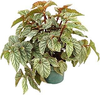 begonia maculata wightii