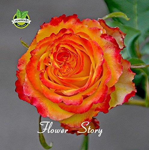50 Rose Orange Arbre graines parfumées graines de fleurs pour la maison jardin plantation extérieure pérenne