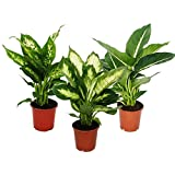 dieffenbachie–Set de 3avec 3versch. Types–plante en pot d'intérieur Plantes–Pour les débutants