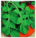 Semillas de rúcula de vegetales - vegetales - eruca sativa - 8000 semillas aproximadamente - las mejores semillas de plantas - flores - frutas raras - cohetes - idea de regalo -