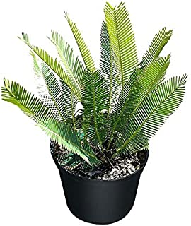 PlantVine Dioon edule, Mexican Fern Palm, Cycad - Extra Large - 12-14 Inch Pot (7 Gallon), Live Plant