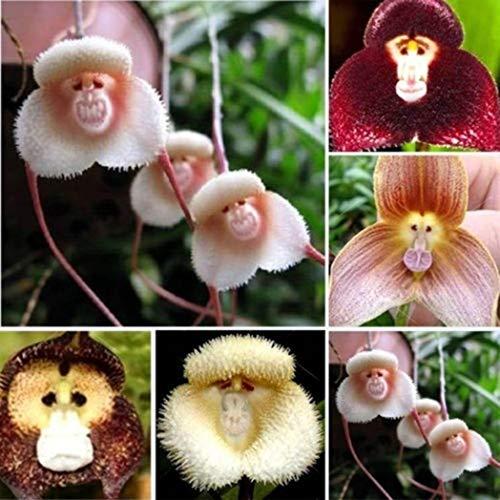 DeYL Semillas Plantas 100 / Semillas 200Pcs Mono Cara Adorable Jardín de Orquídeas Planta de la Flor Decoración Bonsai - 100 Piezas Cara del Mono Orchid Semillas
