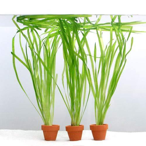(水草)バリスネリア スピラリス ミニ素焼き鉢(無農薬)(3鉢) 北海道航空便要保温