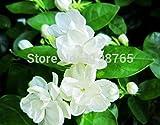 Livraison gratuite 50 pièces blanches Graines de jasmin, plante odorante arabian jasmin graines de fleurs 49%