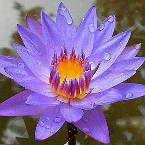 Beautytalk-Garten Lotusblumen Samen, Wasserpflanzen Hydroponischen Blumensamen Topf Wasser-Lilien-Samen Schüssel Lotussamen mehrjährig für den Hausgarten