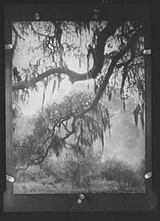 1920 Photo Spanish moss, New Orleans vintage black & white photo H82