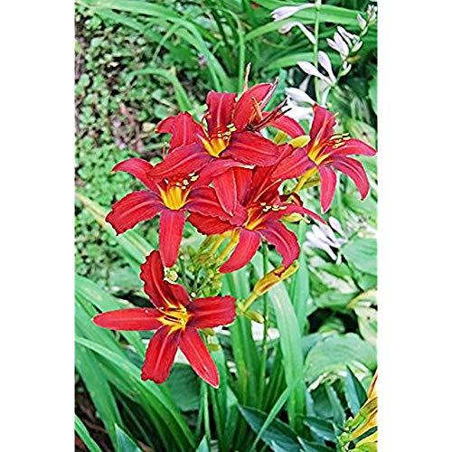 FERRY Bio-Saatgut Nicht nur Pflanzen: Aquatic Rote Taglilie: 100 Seeds reseed Hemeroclis 1-2 Fans Tennessee